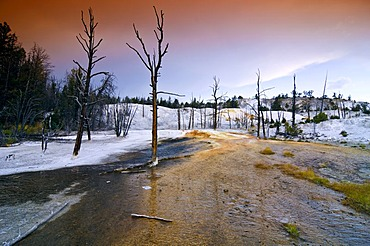 Dead trees, Mammoth Hot Springs, Yellowstone National Park, Wyoming, USA, United States of America