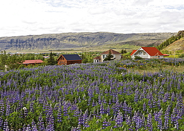 Lupins (Lupinus) and houses, Hverageri, Iceland, Atlantic Ocean