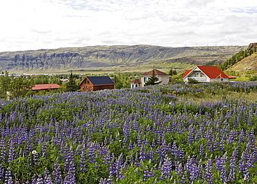 Lupins (Lupinus) and houses, Hverageri, Iceland, Atlantic Ocean