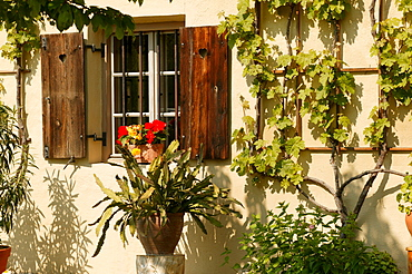 Window with Begonia flower box, Schlumbergera and vines, Upper Bavaria, Germany