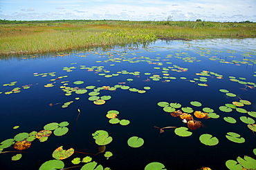 Water lilies at the bank of Lake Capoey, Guyana, South America