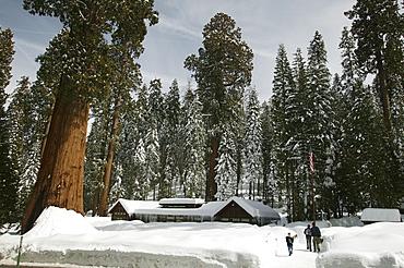 Giant Sequoias (Sequoiadendron giganteum) in wintertime, Sequoia National Park, California, USA, North America