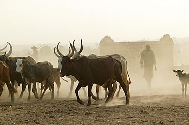 Herd of Zebus (Bos primigenius indicus), Garoua, Cameroon, Africa