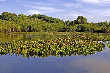 Typical landscape in Pantanal, Brasil