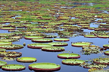 Water lilly, Victoria regia, in Pantanal, Brasil