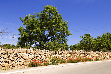 Almond Tree, stone wall, blooming poppy along the road, Platja des Trenc, Majorca, Balearic Islands, Spain, Europe