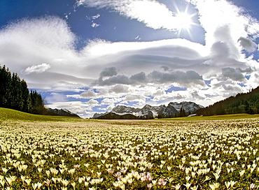 Meadow filled with crocuses (Crocus), foehn, lenticular clouds near Gerold, Wetterstein Range, Upper Bavaria, Bavaria, Germany
