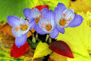 Flowering autumn-crocusses (Crocus pulchellus)