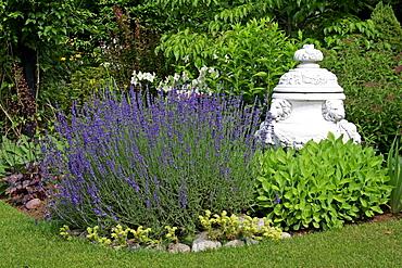 English lavender in a garden (Lavandula angustifolia)