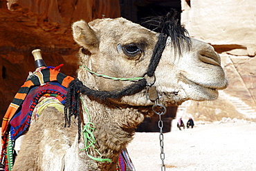 Dromedary Camel (Camelus dromedarius), in the ancient Nabataean rock city of Petra, Jordan, Middle East, Asia