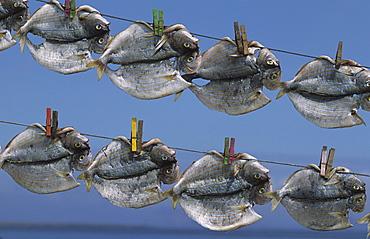 Fish drying in the sun on the island La Graciosa, Lanzarote, Canary Islands, Spain