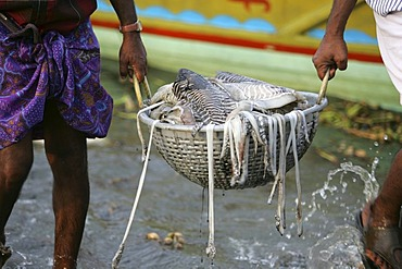 Fishermen returning with their catch, Fort Cochin, Kerala, India