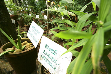 Herb garden, Somatheeram Ayurveda Resort, traditional Ayurvedic medicine spa resort, Trivandrum, Kerala, India, Asia