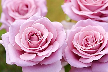 Four rose blossoms