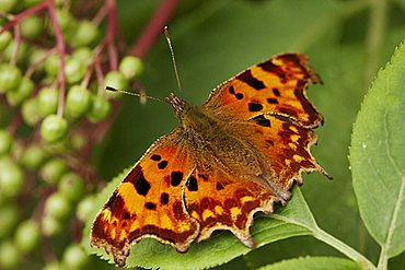 Comma butterfly (Polygonia c-album), macro dorsal view, on a leaf