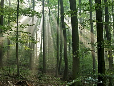 Sun-drenched forest, Odenwald, Germany