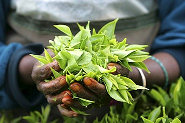 LKA, Sri Lanka : Nuwara Eliya, Highlands, tea plantaion area. Pea plucker, traditionell femal work.