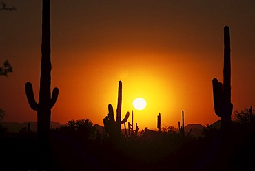 USA, United States of America, Arizona: Saguaro National Park, near Tucson, at sunset.