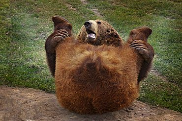 Brown Bear (Ursus arctos) laying on the ground, stretching its hind legs - 832-3193