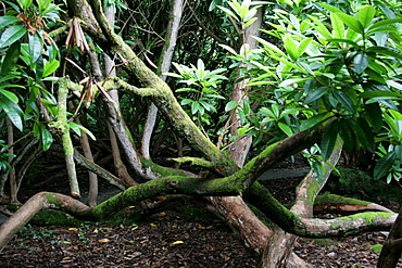 Jungle, The Lost Gardens of Heligan, Pentewan, St. Austell, Cornwall, Great Britain