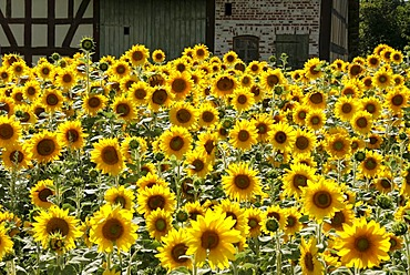 Sunflower (Helianthus annnuus) field in front of a half timbered barn, Hessenpark, Neu-Anspach, Taunus, Hesse, Germany, Europe