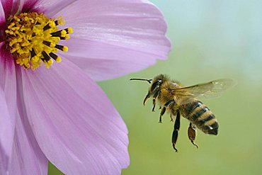 flying western honey bee (Apis mellifera)