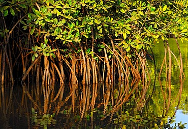 In the mangrove forest - reflection of roots and branches, The Gambia, Africa