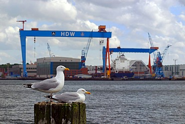 View over Kiel Fjord to Howaldtswerke-Deutsche Werft (HDW), shipbuilding company, with a pair of herring gulls (Larus argentatus), Kiel, Schleswig-Holstein, Germany