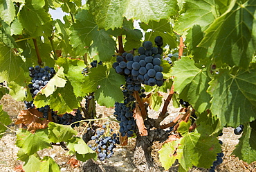 Bunches of dark red grapes on vines, Corbieres region, Department Aude, France, Europe