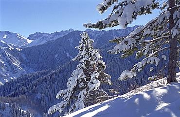 Fur-trees after the first snow in mountains. Mountains Zailisky Alatau, Almaty area, Kazakhstan.
