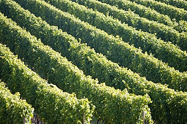Grape-vines in vineyard, Rheingau (Rhine District), Hesse, Germany