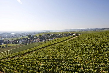 Vineyards of Johannisberg Castle, Rheingau (Rhine District), Hesse, Germany