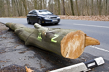 Fallen tree on the side of a road, damage after a storm in Hesse, Germany
