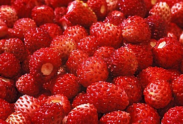 Ripe, red wild strawberries.