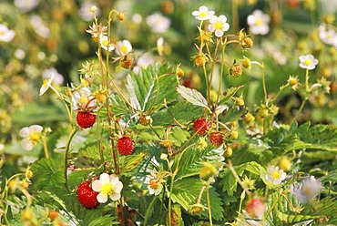 Ripe, red wild strawberries and blossoms.