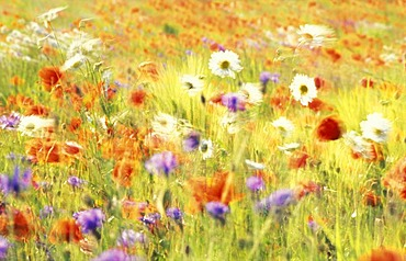 Field of poppies, oxeye daisys and blue cornflowers moved by the wind.