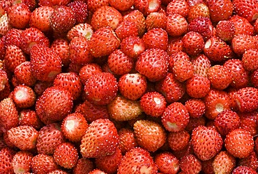 Freshly harvested wild strawberries for the production of remedies