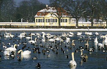 Ducks and swans Nymphenburg Munich Germany