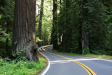 Avenue of the Giants scenic byway through the tall Redwoods (Sequoia sempervirens), California, USA
