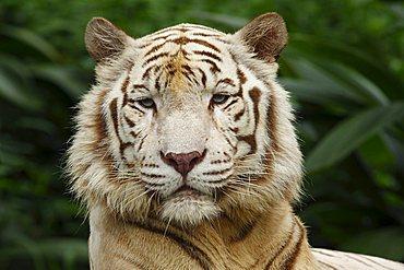 White Tiger (Panthera tigris), portrait, Singapore Zoo, Singapore, Asia