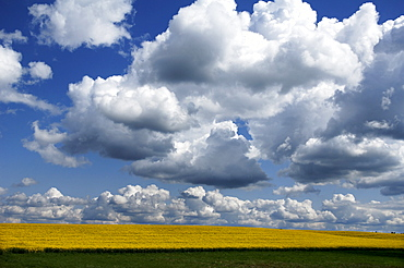 Towering Cumulus Clouds (Cumulus congestus) above a field of rape (Brassica napus) in bloom, Krembz, Mecklenburg-Western Pomerania, Germany, Europe
