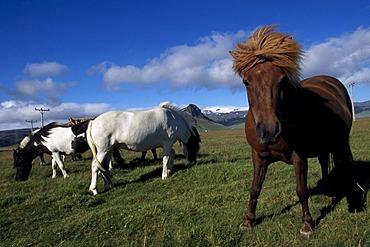 Iceland horses, Hoefn, Iceland