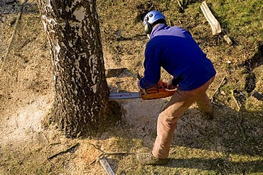 Worker chopping down a tree with a chain saw