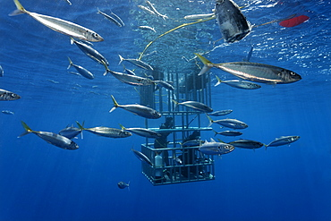 Scuba divers in a cage observing a Great White Shark (Carcharodon carcharias), Guadalupe Island, Mexico, Pacific, North America