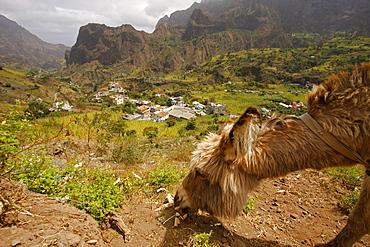 Donkey, Paul Valley on Santo Antao Island, Cape Verde Islands, Africa