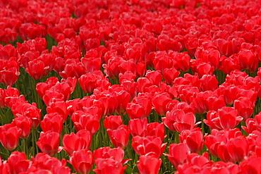 Tulips (Tulipa) in spring, Westfalenpark, Westphalia Park, Dortmund, North Rhine-Westphalia, Germany, Europe