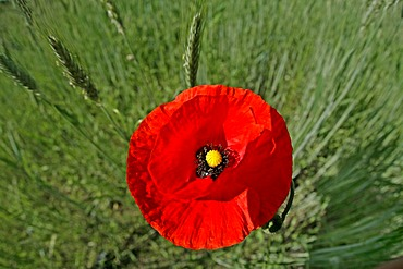 Corn poppy in a field Lausitz