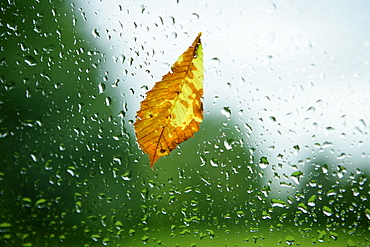 Raindrops and foliage at the window pane, autumn