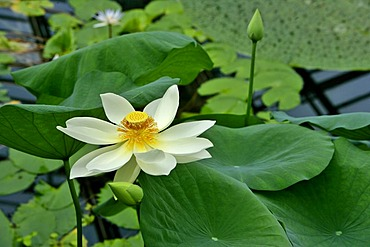 Lotus blossom in a pool