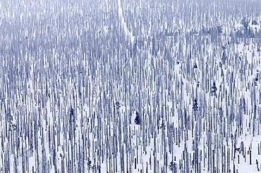 Forest damaged by bark beetles, Lusen, Bayerischer Wald (Bavarian Forest), Bavaria, Germany, Europe
